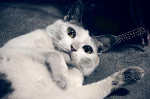 猫咪膀胱结石应该如何治疗?